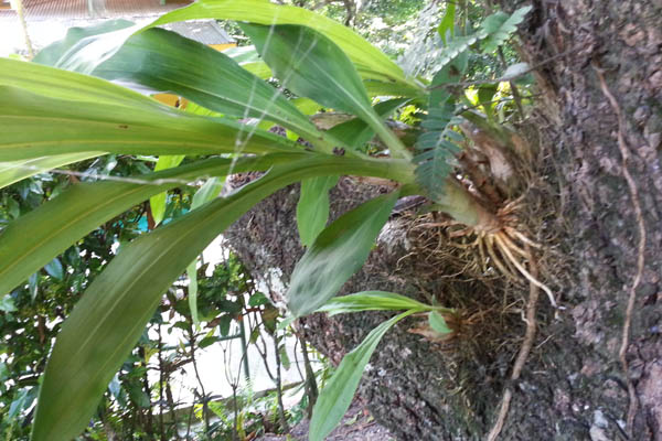 Costa Rica catasetum in tree