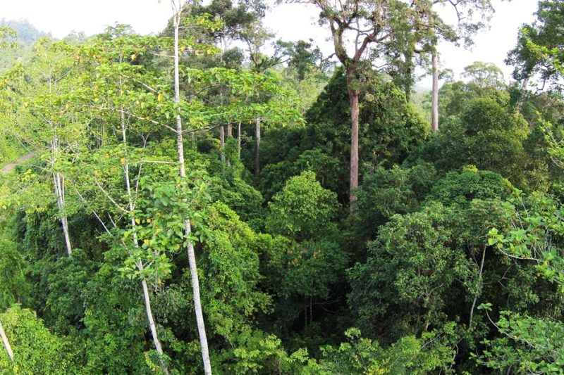 Borney rainforest being lost to palm oiul farming
